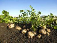 Variedades de patata resistentes a sequía, calor y frío extremo