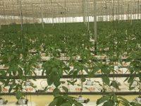 Tecnova desarrolla un sistema de refrigeración para invernaderos en zonas cálidas