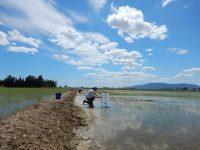 El riego intermitente disminuye las emisiones de metano en los arrozales