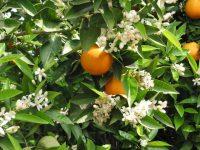 Principales bioestimulantes y efectos en el cultivo de los cítricos