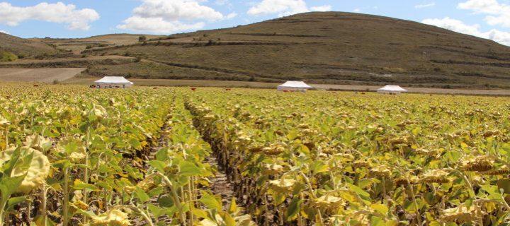 Syngenta muestra el potencial productivo de sus variedades de girasol SY Kiara y Suzuka HTS