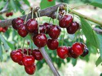 Fitoscerezo, un grupo operativo para desarrollar un programa de control integrado de plagas en el cultivo del cerezo