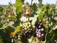 Investigadores del Cicytex y el Irta ensayan una técnica para retrasar la maduración de la uva