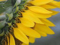 Digitalización y precisión para el cultivo de girasol y colza