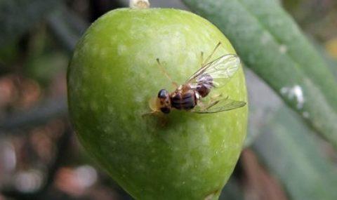 El big brother de la mosca del olivo