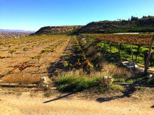 A la derecha, una de las parcelas con uva de la variedad Ohanes, junto al ensayo agronómico con diferentes cepas para buscar las mejores cualidades comerciales