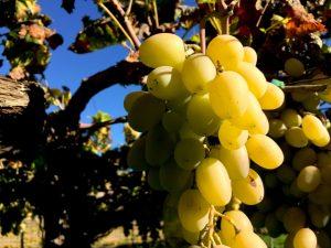 "Un racimo de la legendaria uva de Ohanes o ""uva de barco"""