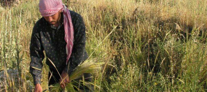Cómo mejorar cultivos de cereales en climas cambiantes