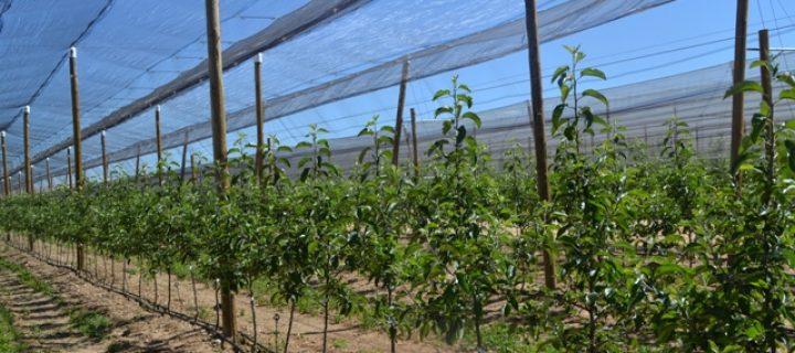 Mejora varietal, indiscutible para frutales más competitivos
