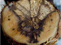 Estrategia global para el control de las enfermedades de la madera de la vid