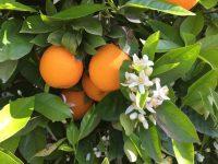 Vila-real acoge el próximo 26 de marzo una Jornada Innovagri sobre el Cultivo de los Cítricos