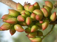 Optimización de técnicas de cultivo del pistachero en secano y en regadío