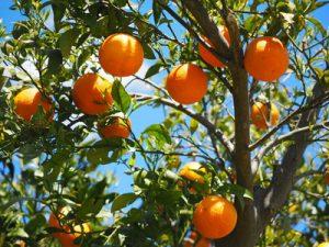 Naranjas. Junta de Andalucía
