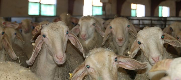 Ovejas y corderos monitorizados en Granja AGM