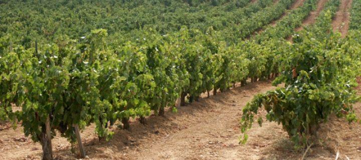 Monitorización del viñedo vía análisis de imagen