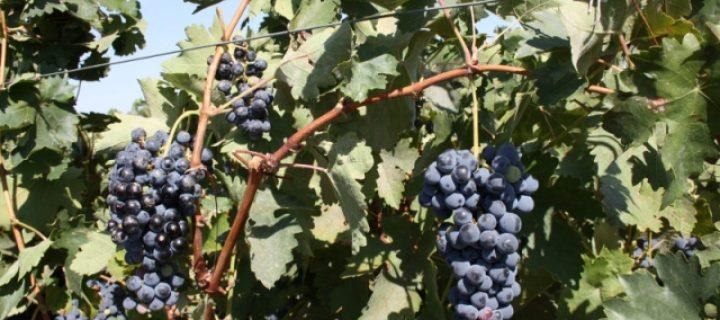 Técnicas para mejorar la viticultura extremeña
