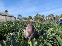 Alcachofa de semilla frente a la sequía