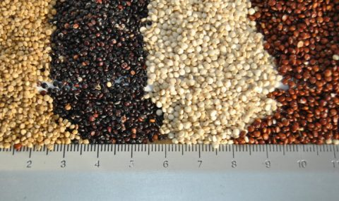 La quinoa y su posible adaptación en el valle del Ebro