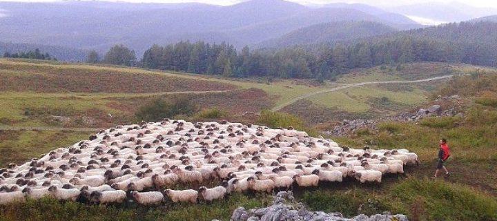 Torta de colza para alimentar ovejas latxas