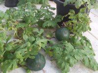 Aragón, Andalucía y Valencia investigan sobre el control de enfermedades en melón y sandía