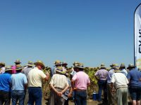 Syngenta reúne a más de 500 agricultores en la presentación de sus variedades de girasol
