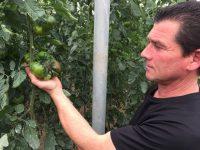 Adora, el nuevo modelo de producción para tomate de sabor