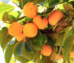 """""""Kaki persimon"""" en árbol"""