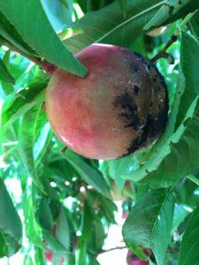Fruto en el árbol afectado por Rhizopus spp.