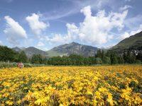 Cultivar árnica, una alternativa en la montaña