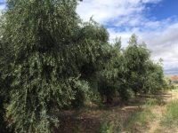 Cómo programar el riego y la fertilización en un olivar
