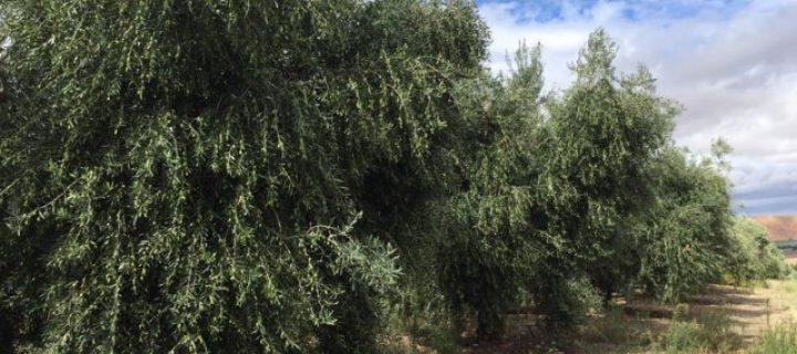 c mo programar el riego y la fertilizaci n en un olivar