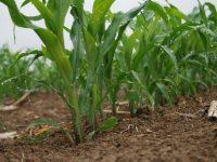 Evaluación de nuevas variedades de maíz para grano de ciclo FAO 700