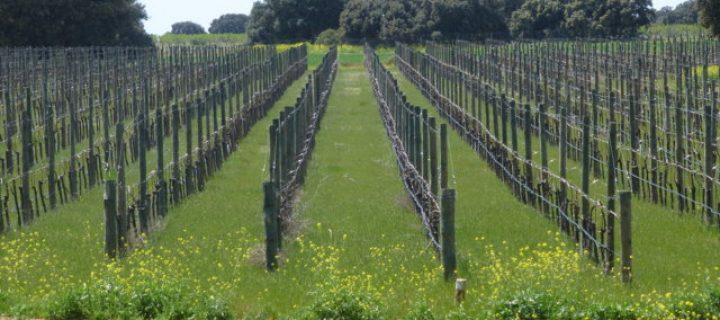 Algunas consideraciones para el diseño de viñedos