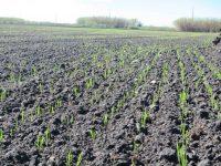 La siembra en seco del arroz permite ahorrar agua y reducir la dosis de siembra hasta el 30%