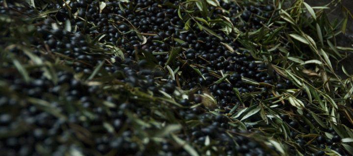 Un sistema pionero de calidad de la aceituna para aceite de oliva