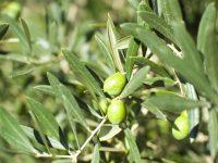 Expertos del ceiA3 estudian la manera de impedir la propagación de Xylella fastidiosa en el olivo europeo