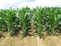 Evaluación de nuevas variedades de maíz para grano de ciclo 600, 500 y 400
