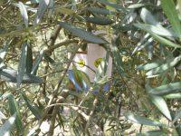 Métodos de control biológicos y tecnológicos de plagas y enfermedades del olivo