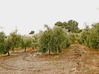El olivar, un sector que resiste pese a las inclemencias