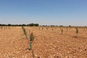 Plantación del patrón UCB1 preparada para realizar el injerto de pistacho (FILEminimizer)