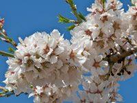 La importancia de la polinización en frutales: abejas, osmias y otros