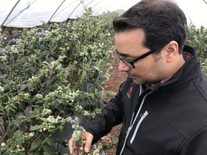 Fernando Glez. explica que cuando el arándano tiene su adecuado nivel de azúcar y sus características propias, se recolecta a mano