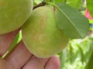 Síntomas del virus de la Sharka en fruto de melocotonero.