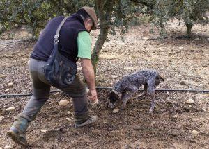Los perros truferos localizan y marcan el hongo en la plantación