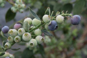 La cosecha de árandanos abarca de enero a mitad de julio. Se cultivan las variedades Star y Ventura