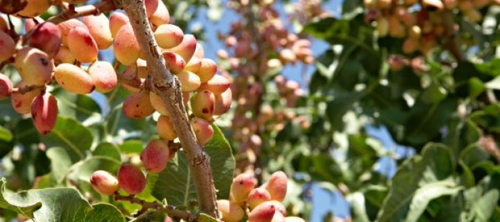 Curso sobre pistachero en El Chaparrillo