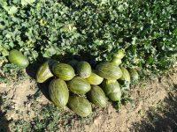 Mayor producción y mejor calidad del melón