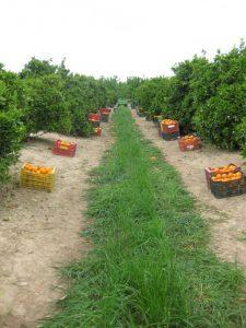Recolección manual de una plantación de cítricos