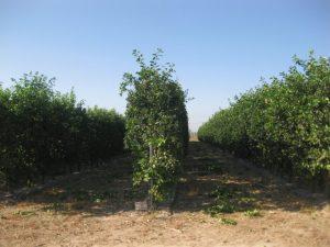 Detalle de los setos de una plantación adulta.