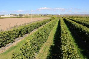 Detalle de una plantación adulta de cítricos en superintensivo.